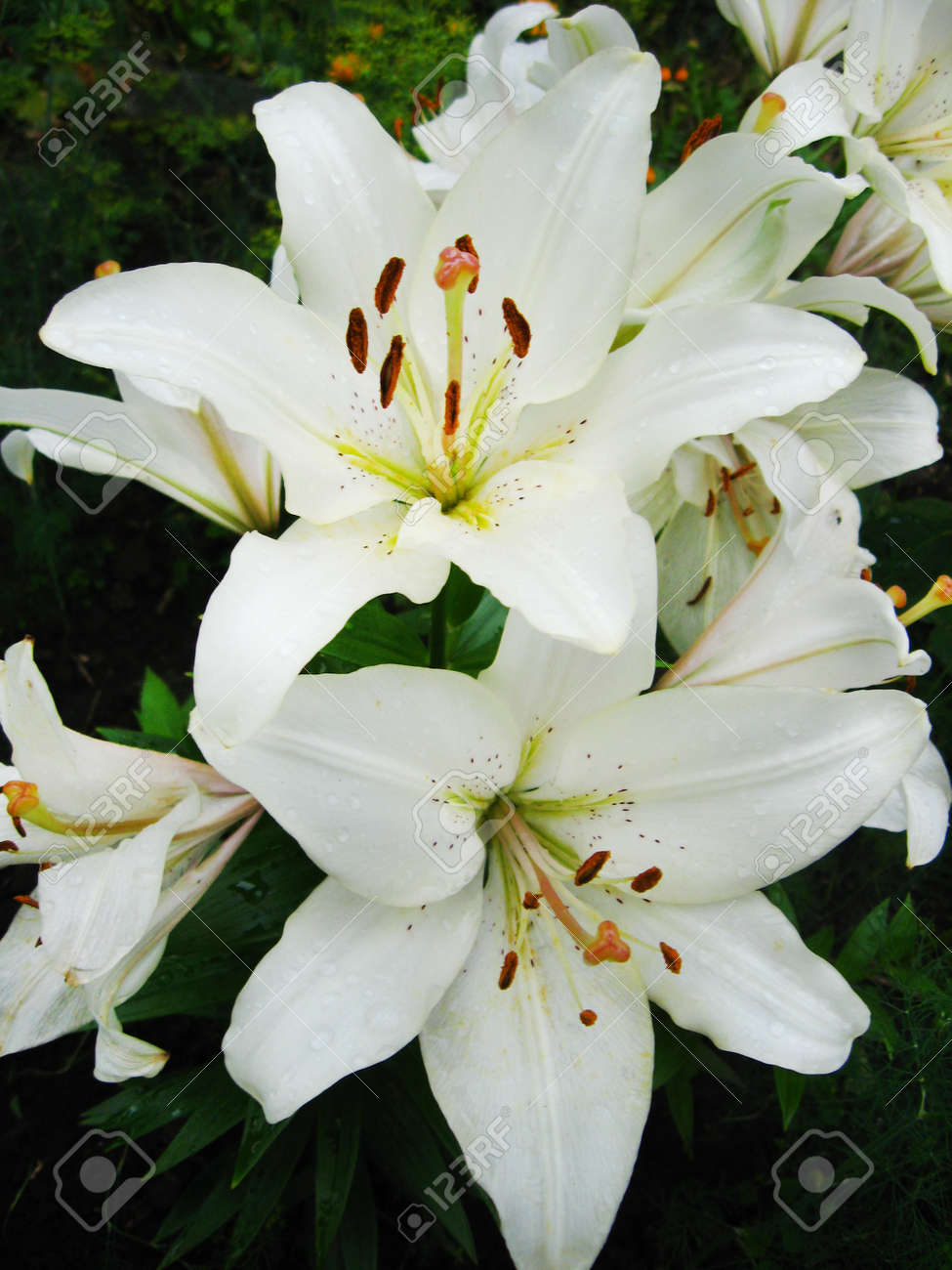 The Flowers Of Beautiful White Lilies Stock Photo, Picture And ...