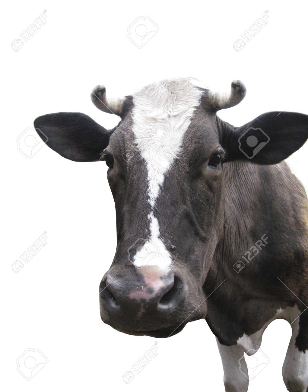 Black-and-white cow on the white background Stock Photo - 12854202