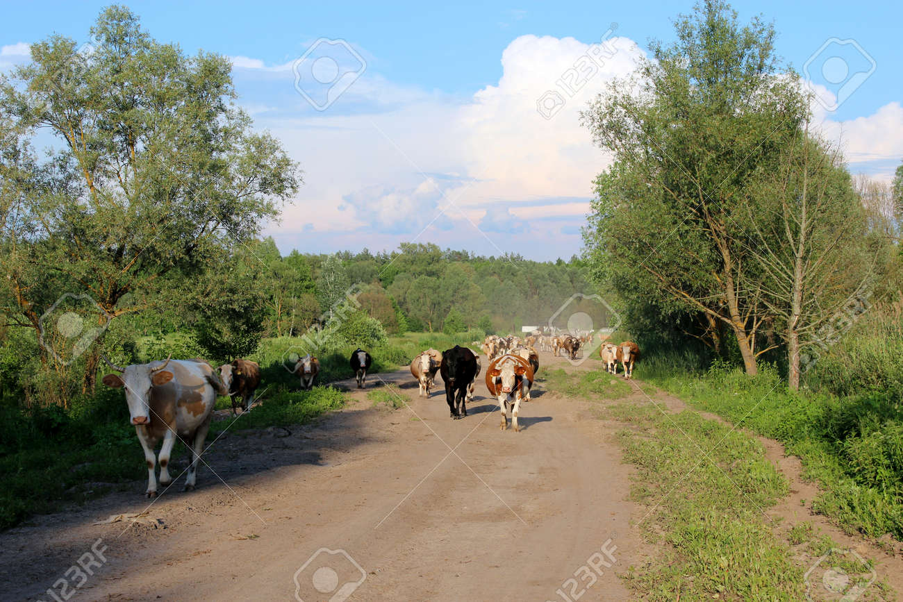 image of cows coming back from pasture Stock Photo - 21685738