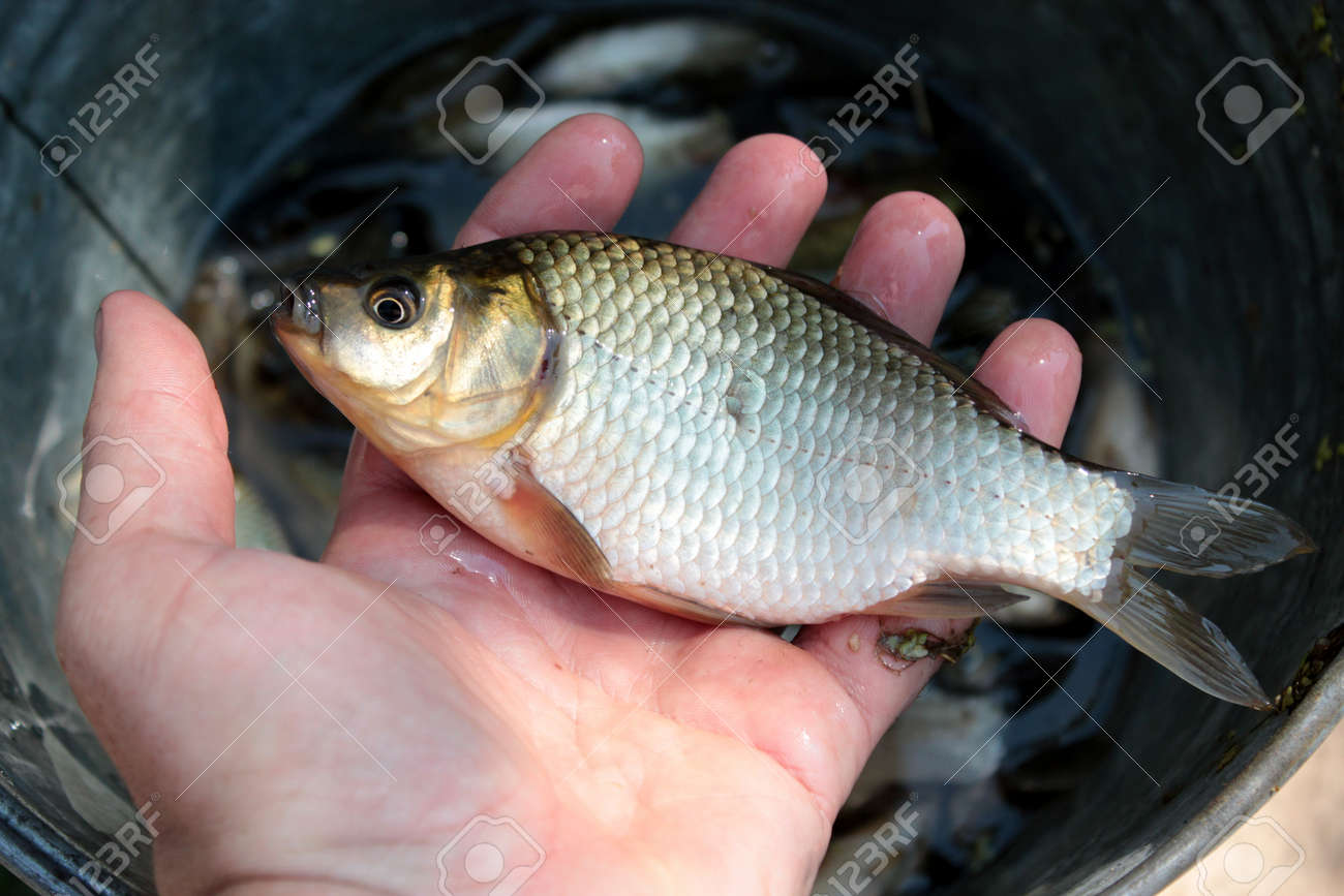 image of caught big crucian in hand Stock Photo - 21740099