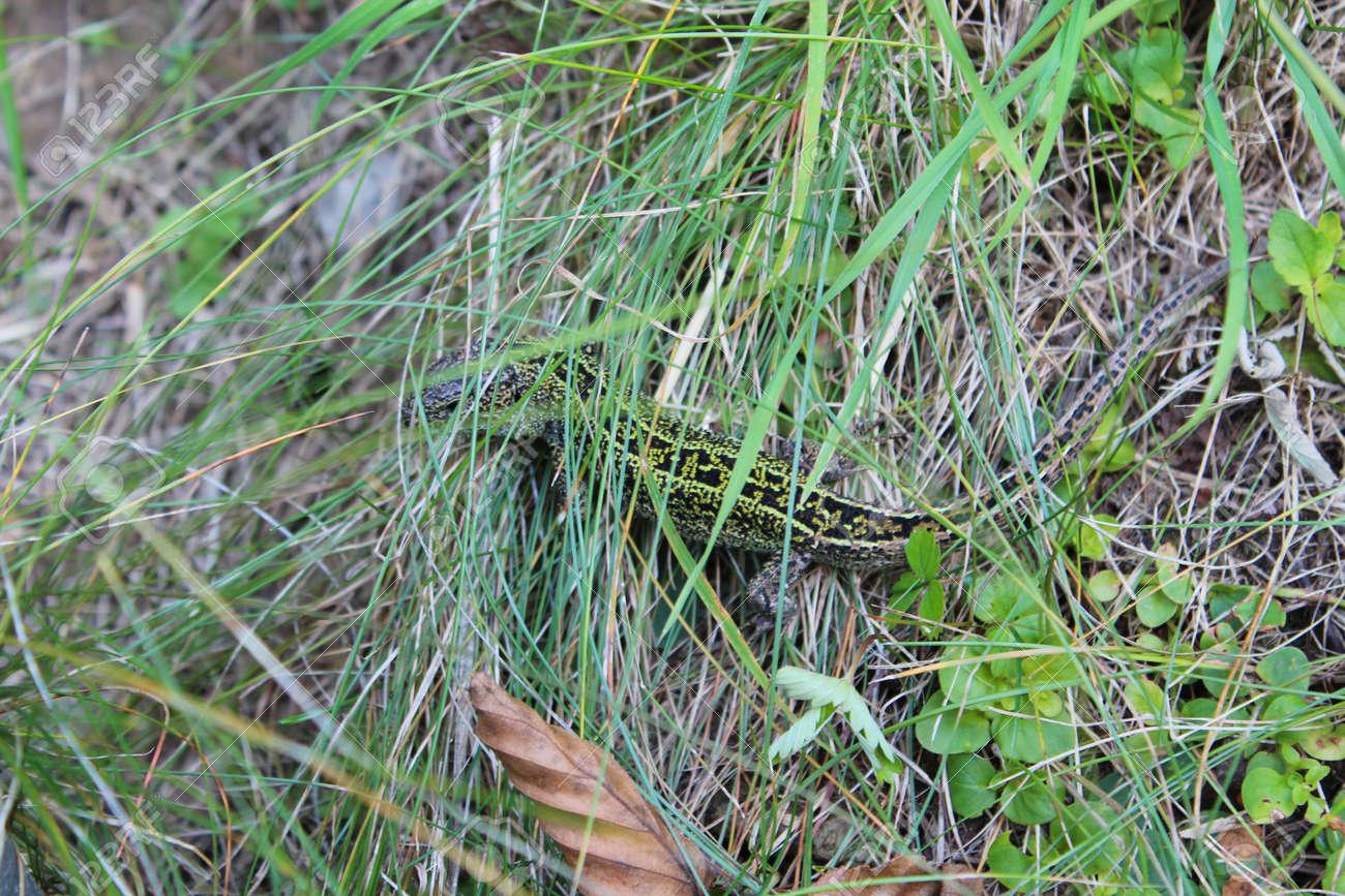 green small lizard creeping in the green grass Stock Photo - 22167375