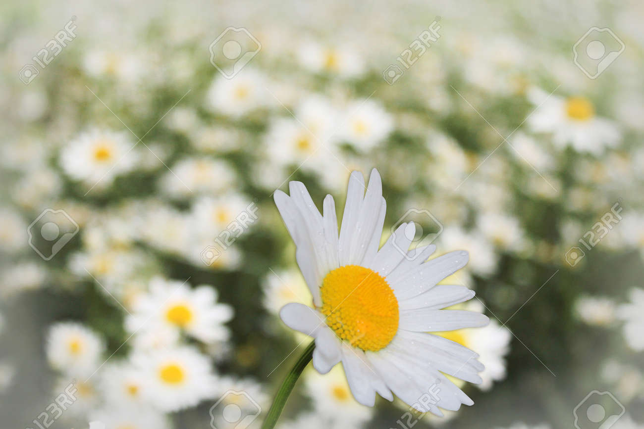 White Flower Of Beautiful Chamomile On The Flower Bed Stock Photo