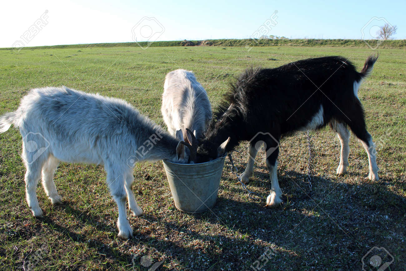 three goats drinking water from thr bucket on the pasture stock