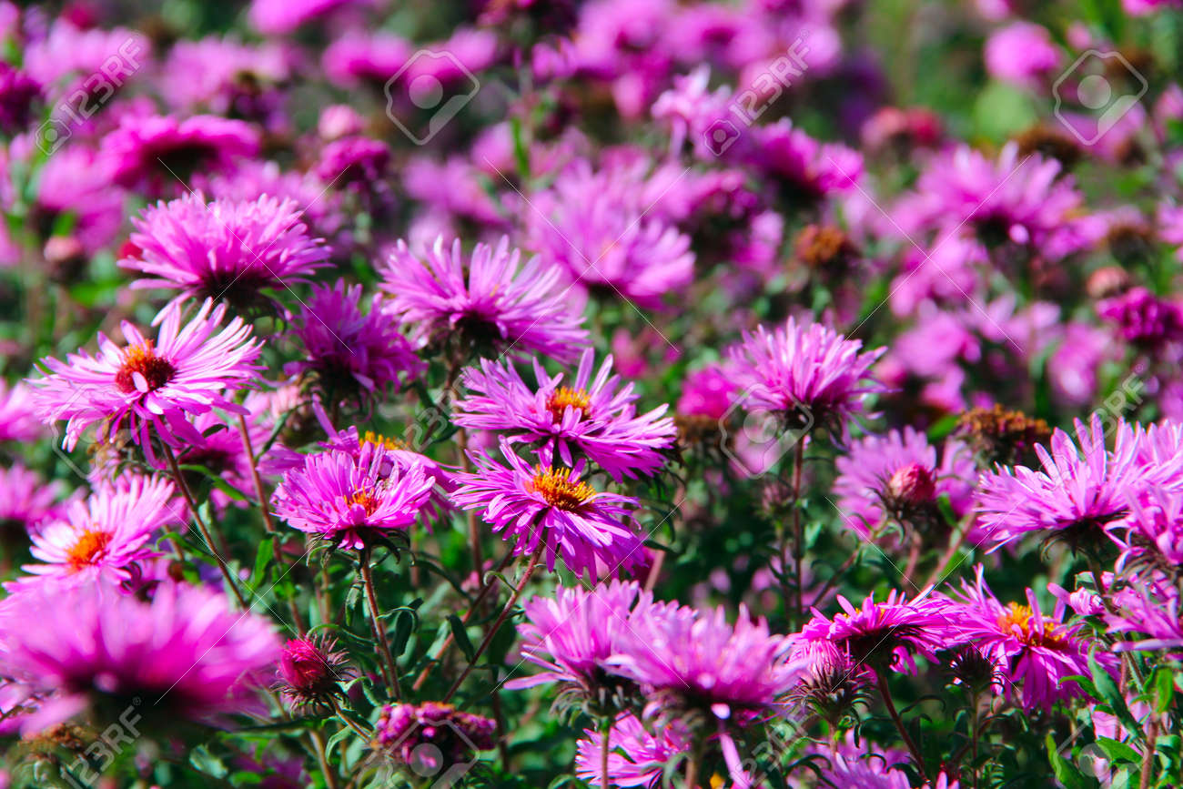 Aster Autumn Flowers Big Bush Of Lilac Asters Blooming In Yard In