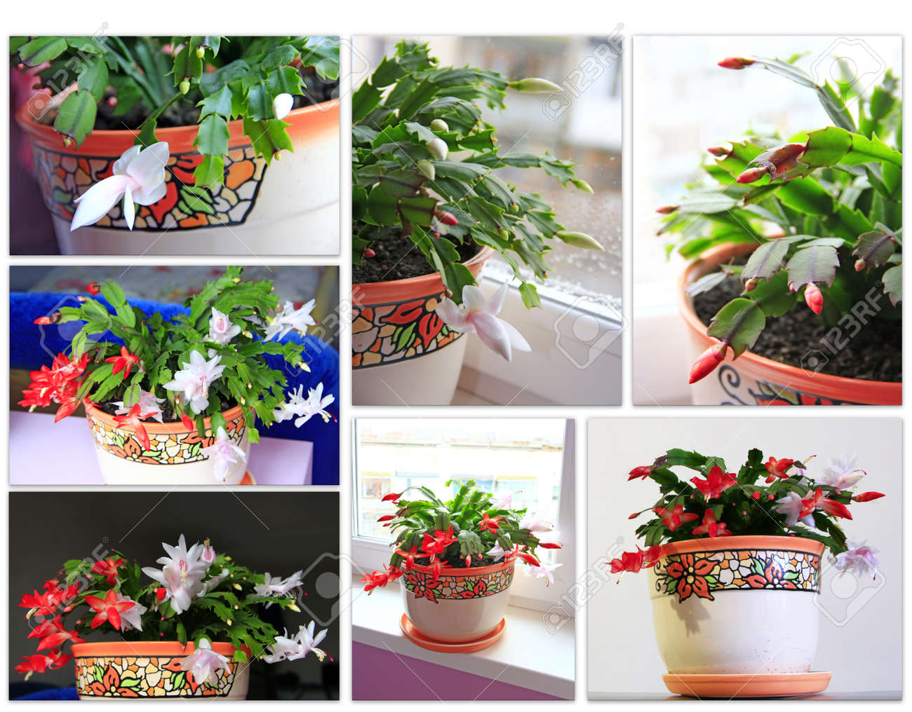 Christmas Flower Pots.Collage Of Images Of Buds And Flowers Of Schlumbergera Red And