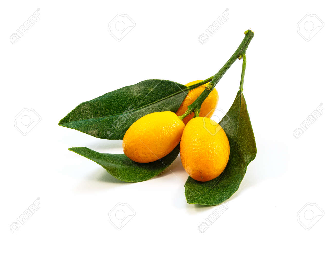 kumquat branches on a white background stock photo picture and