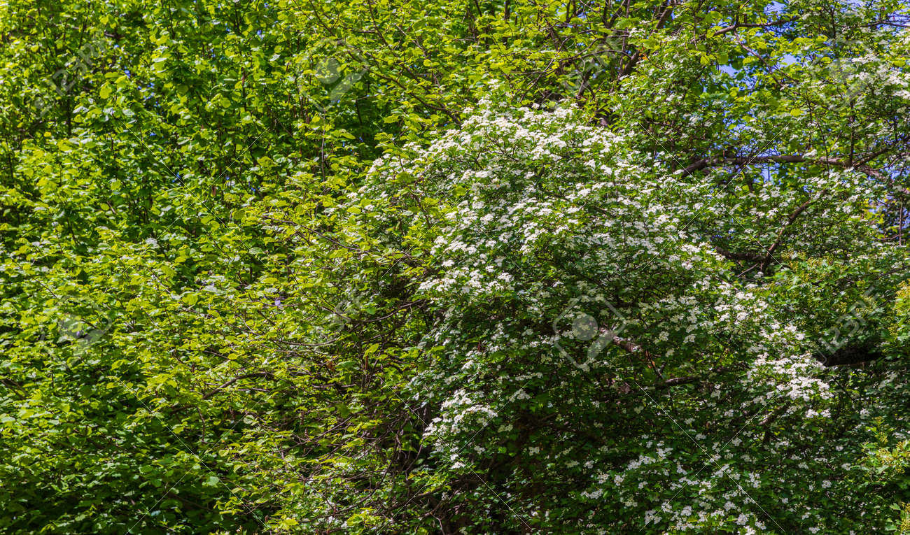 The bird cherry blossomed in the spring forest - 169048912