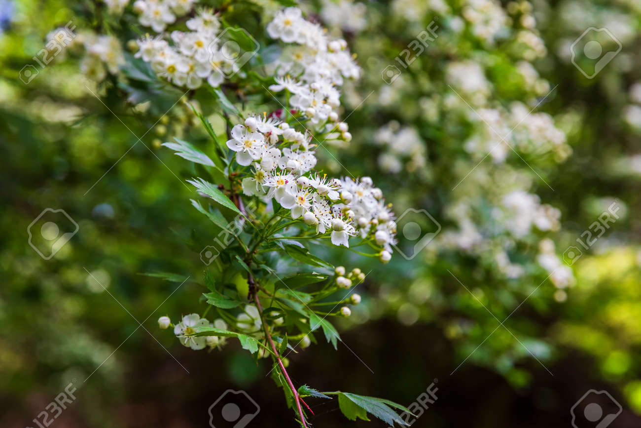 The bird cherry blossomed in the spring forest - 169048922