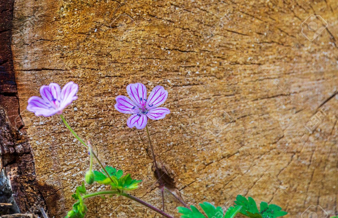 Forest geranium flower in spring - 169048926