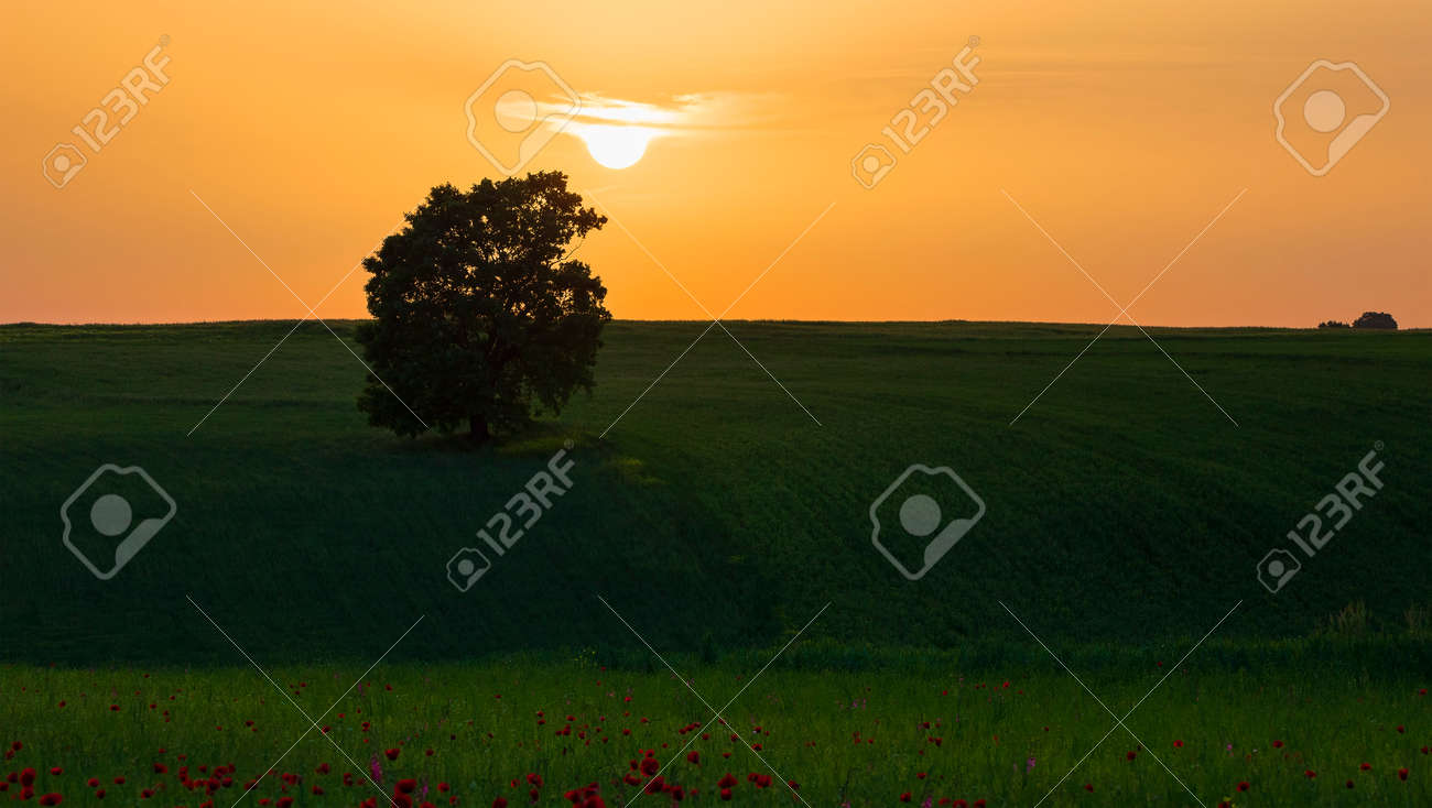 Lonely oak standing in a field among poppies - 169048948