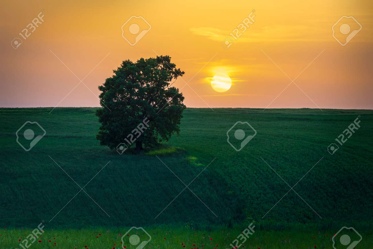 Lonely oak standing in a field among poppies - 169048969
