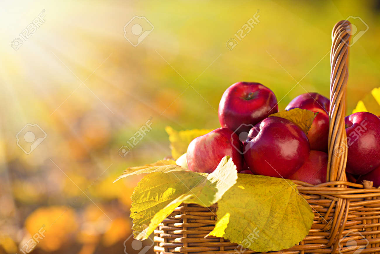 Full basket of red juicy organic apples with yellow leaves on autumn outdoors with soft sun backlit. Good harvest of apples in fall. Thanksgiving holiday concept. - 28731451