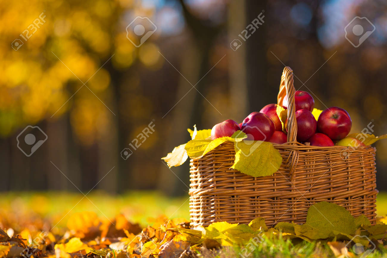 Full basket of red juicy organic apples with yellow leaves on autumn outdoors with soft sun backlit. Good harvest of apples in fall. Thanksgiving holiday concept. - 28731456