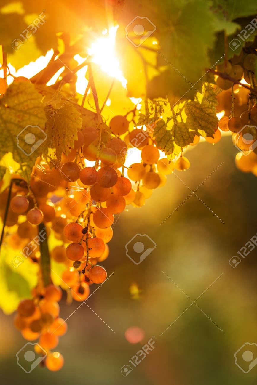 Ripe grapes on a vine with bright sun shining through the green grape leaves. Vineyard harvest season. - 31878345