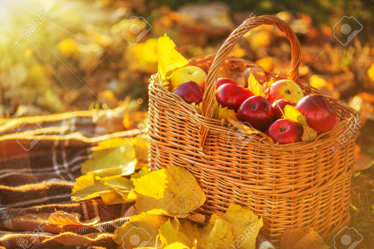 Full basket of red juicy organic apples with yellow leaves on autumn outdoors with soft sun backlit. Good harvest of apples in fall. Thanksgiving holiday concept. - 31878438