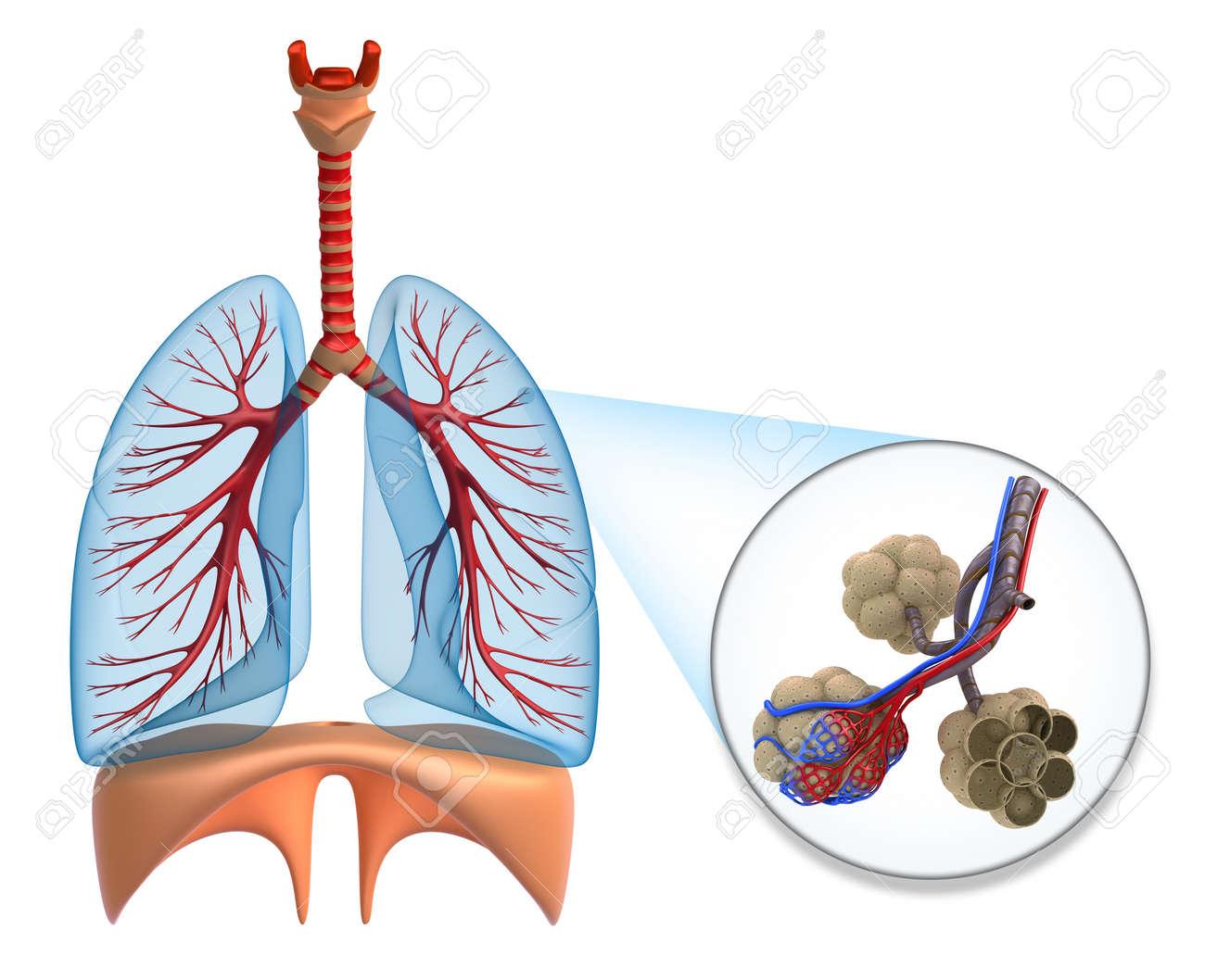 Los Alvéolos De Los Pulmones - Saturando La Sangre Por El Oxígeno ...