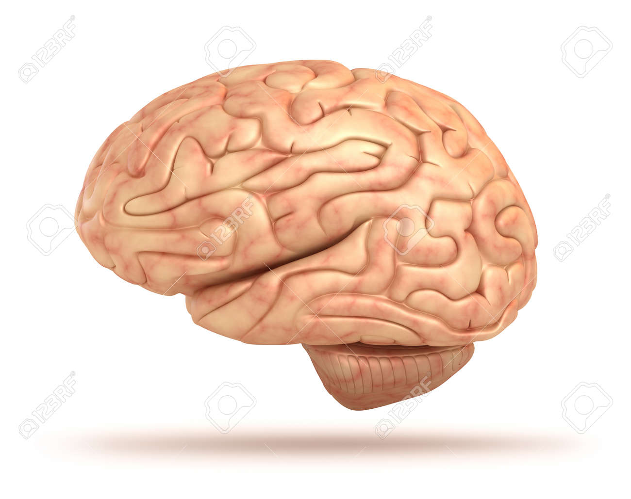 Human Brain 3d Model Isolated Stock Photo Picture And Royalty Free