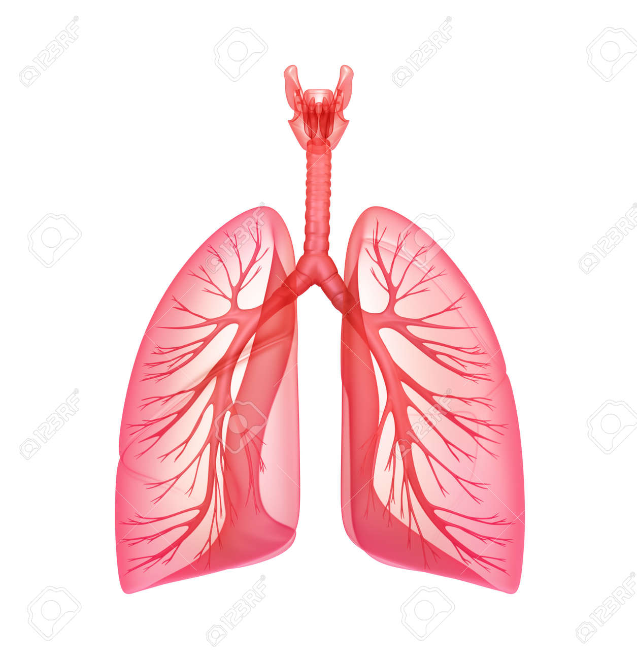 9,627 Lung Stock Illustrations, Cliparts And Royalty Free Lung Vectors