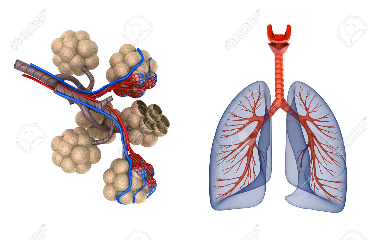 Alveoli In Lungs Blood Saturating By Oxygen Stock Photo Picture