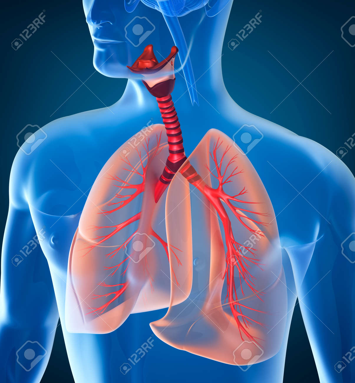 Anatomy Of Human Respiratory System Stock Photo, Picture And Royalty ...