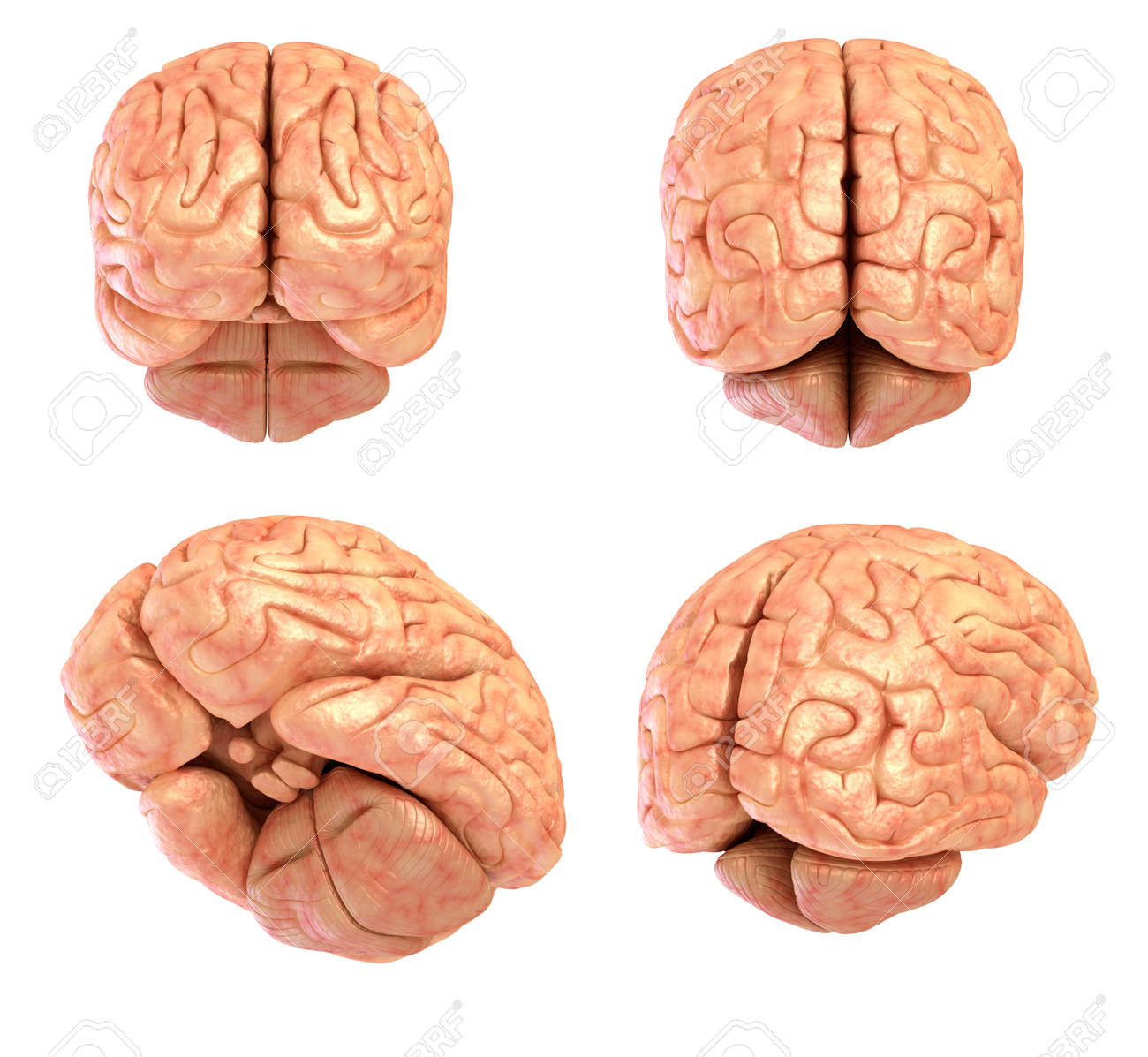 Human Brain Model Isolated Stock Photo, Picture And Royalty Free ...