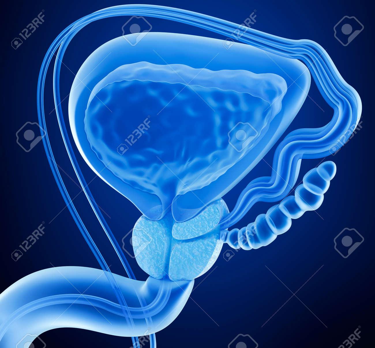 Prostata Und Männlichen Fortpflanzungssystems, X-ray-Ansicht 3D ...