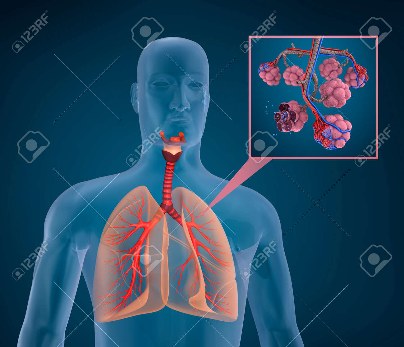 Anatomy Of Human Respiratory System - Blood Saturating By Oxygen ...