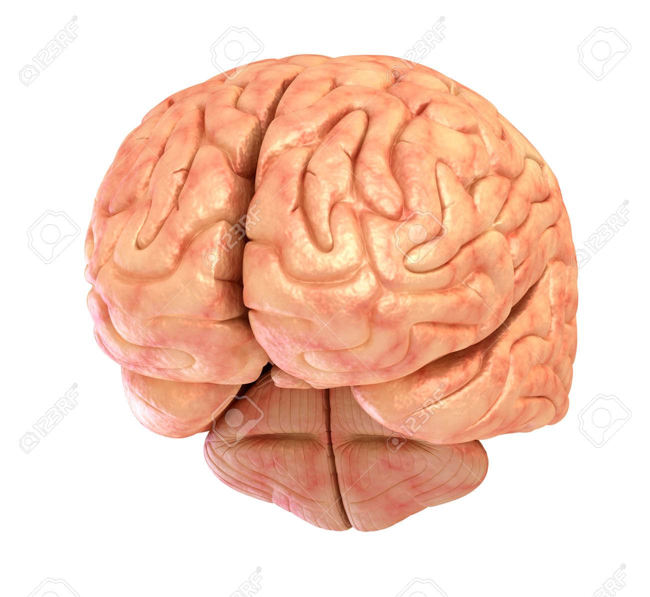 Menschliches Gehirn 3D-Modell, Isoliert Auf Weiß Lizenzfreie Fotos ...