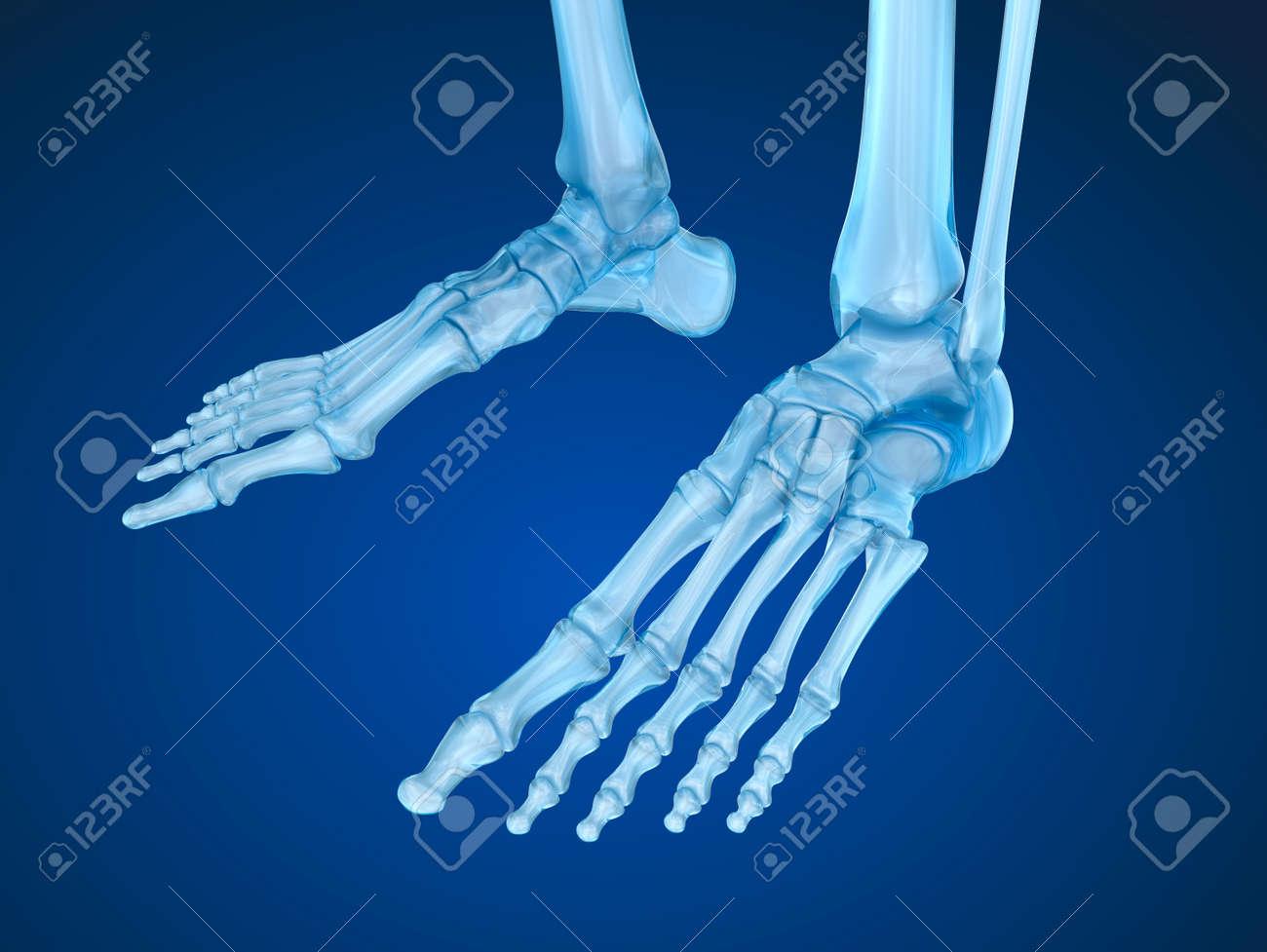Pies Del Esqueleto, Ilustración Médica Precisa En 3D Fotos, Retratos ...