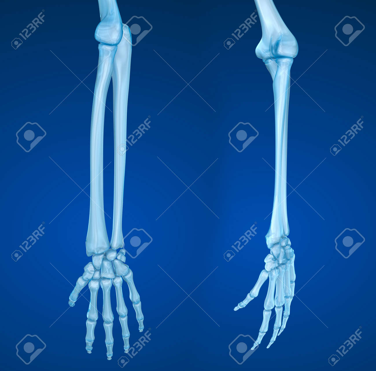 Human Hand Anatomy. Medically Accurate 3D Illustration Stock Photo ...