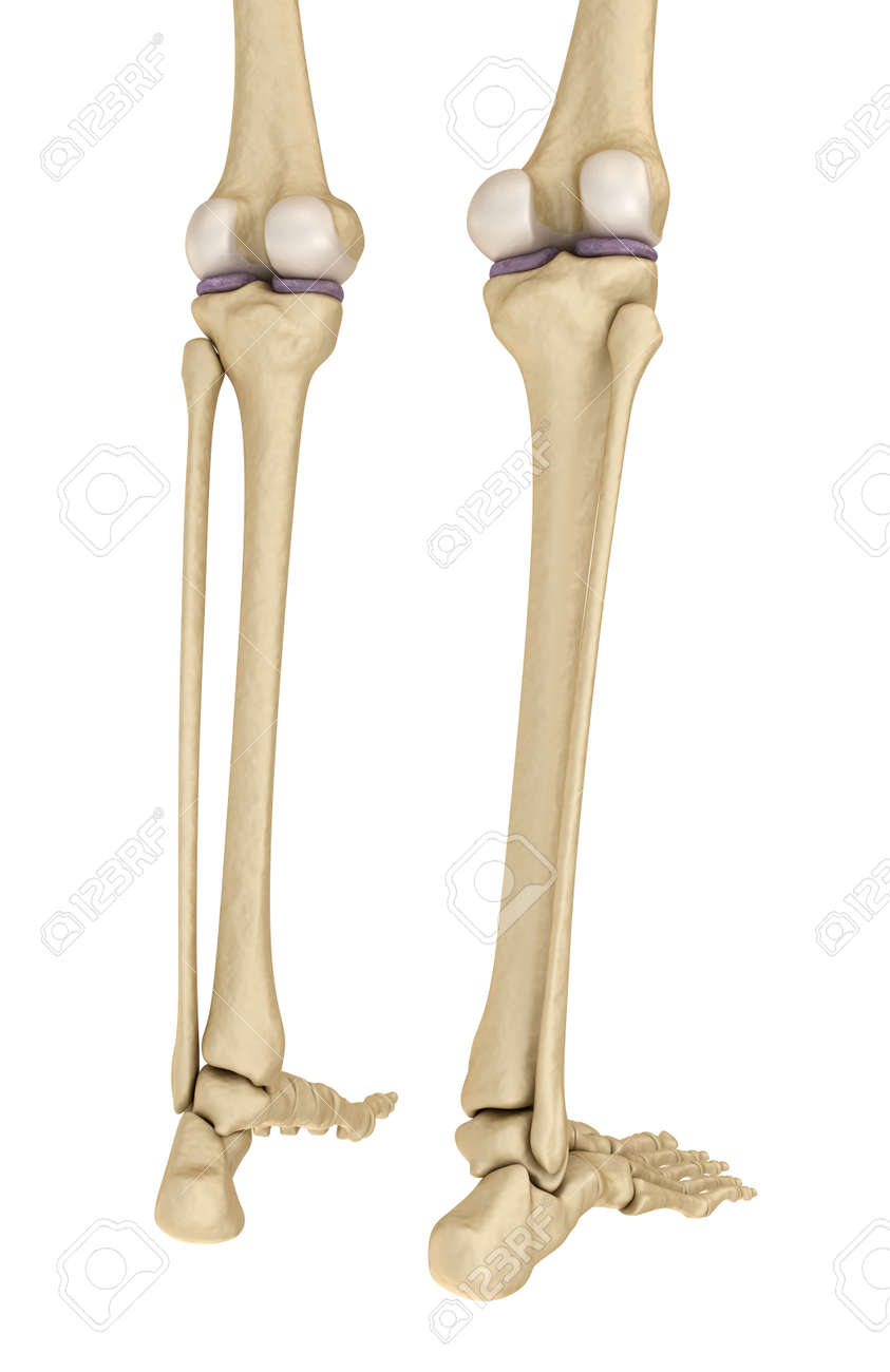 Knee Anatomy Isolated On White Medically Accurate 3d Illustration