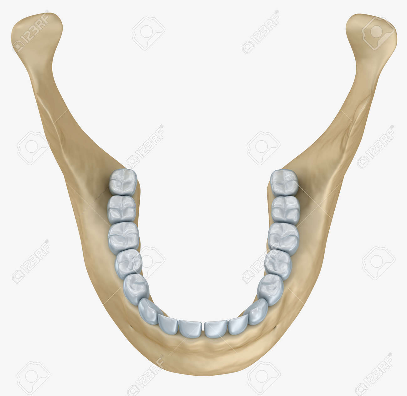 Lower Jaw Skeleton And Teeth Anatomy. Medical Accurate 3D ...