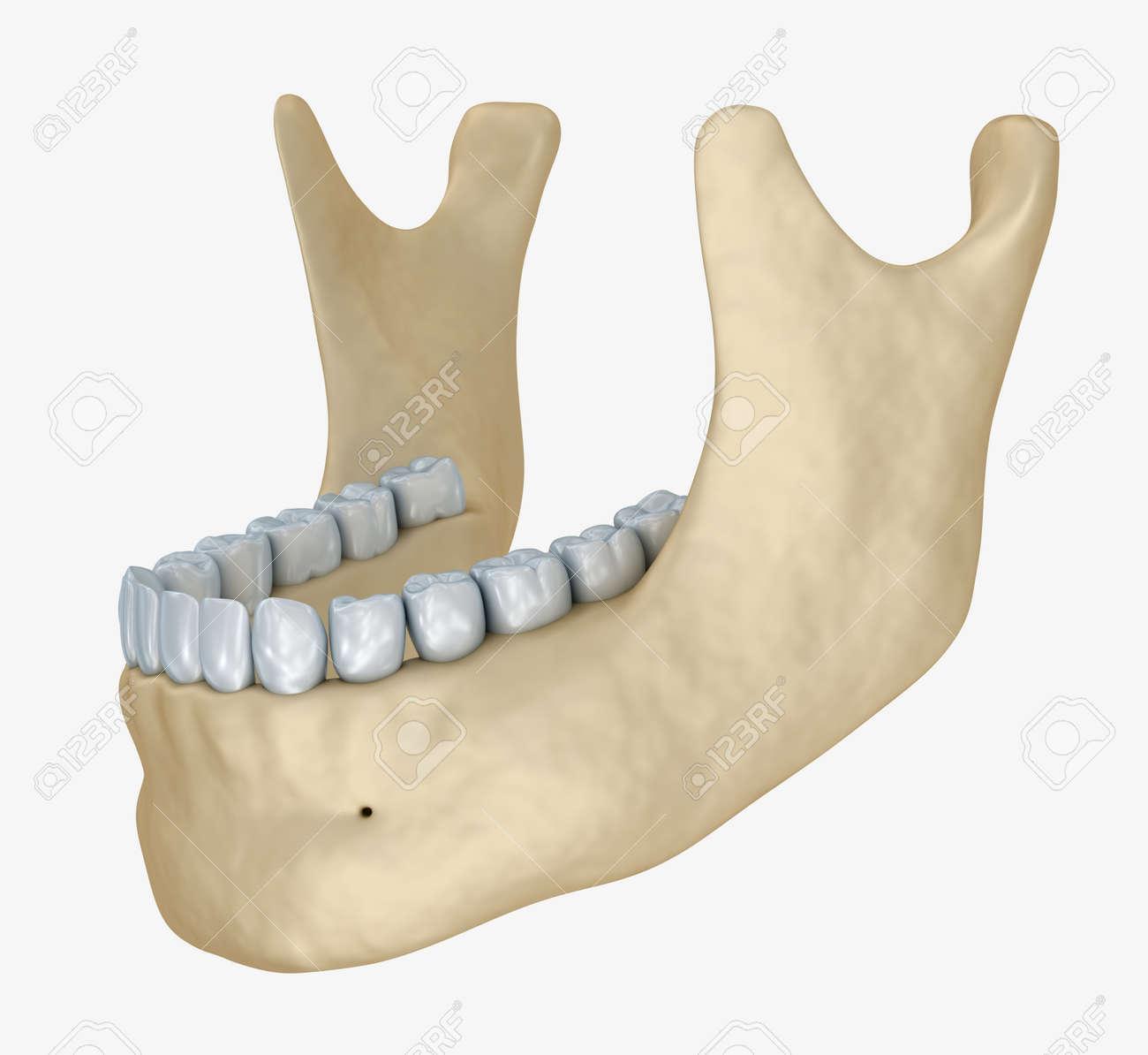 Unterkiefer Skelett Und Zähne Anatomie. Medizinische Genaue 3D ...