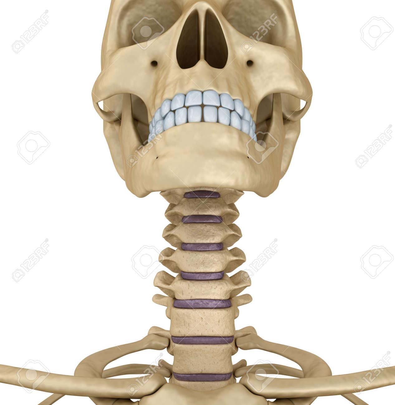 Menschlicher Schädel Skelett: Hals, Isoliert. Medizinisch Genaue 3D ...