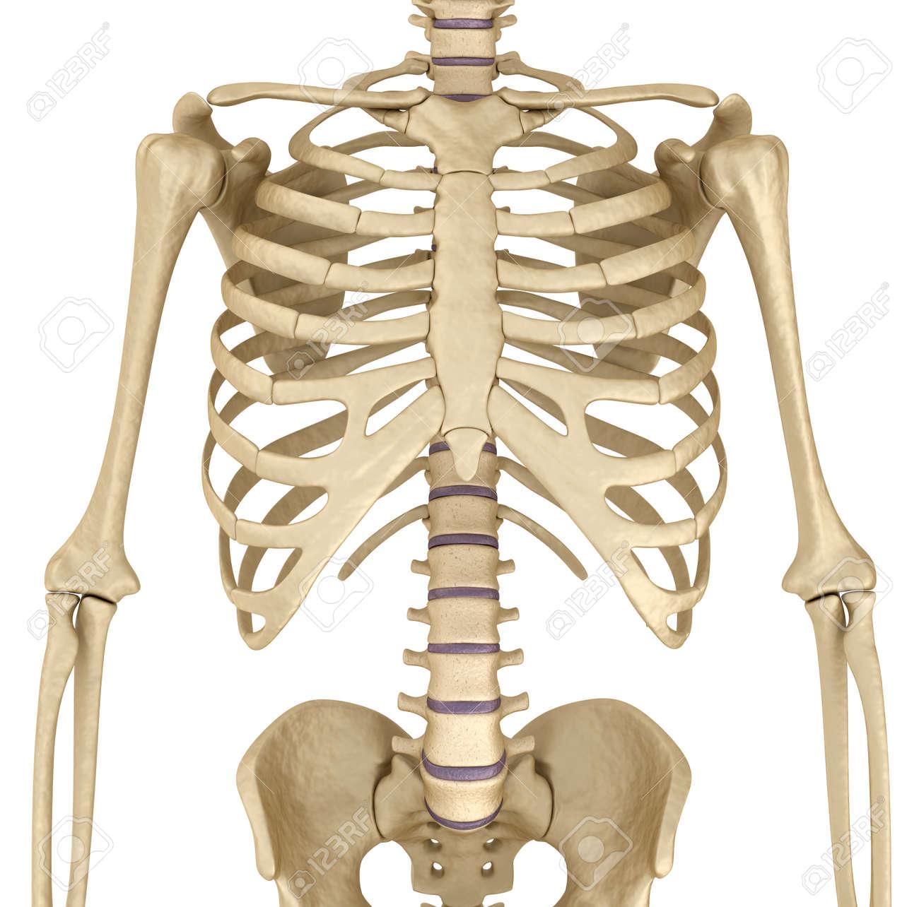 Excepcional Diagrama De Pecho Humana Ilustración - Anatomía de Las ...