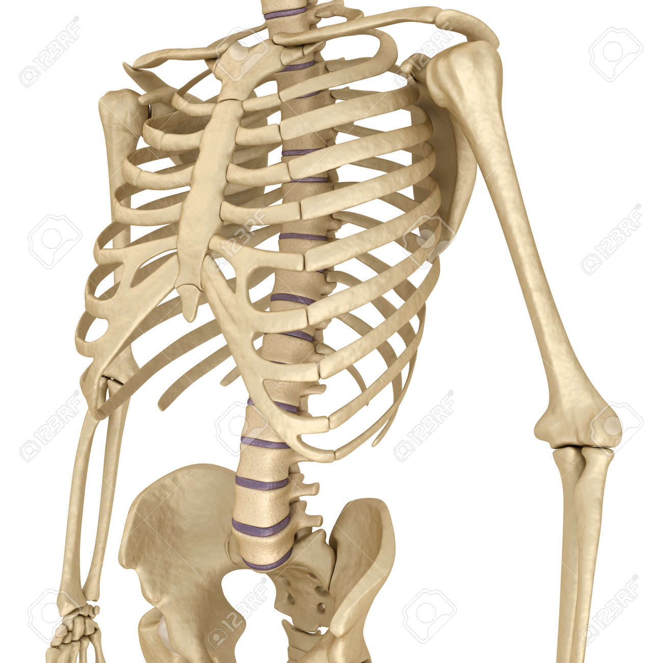 Human Skeleton: Breast Chest. Front View. Medically Accurate.. Stock ...