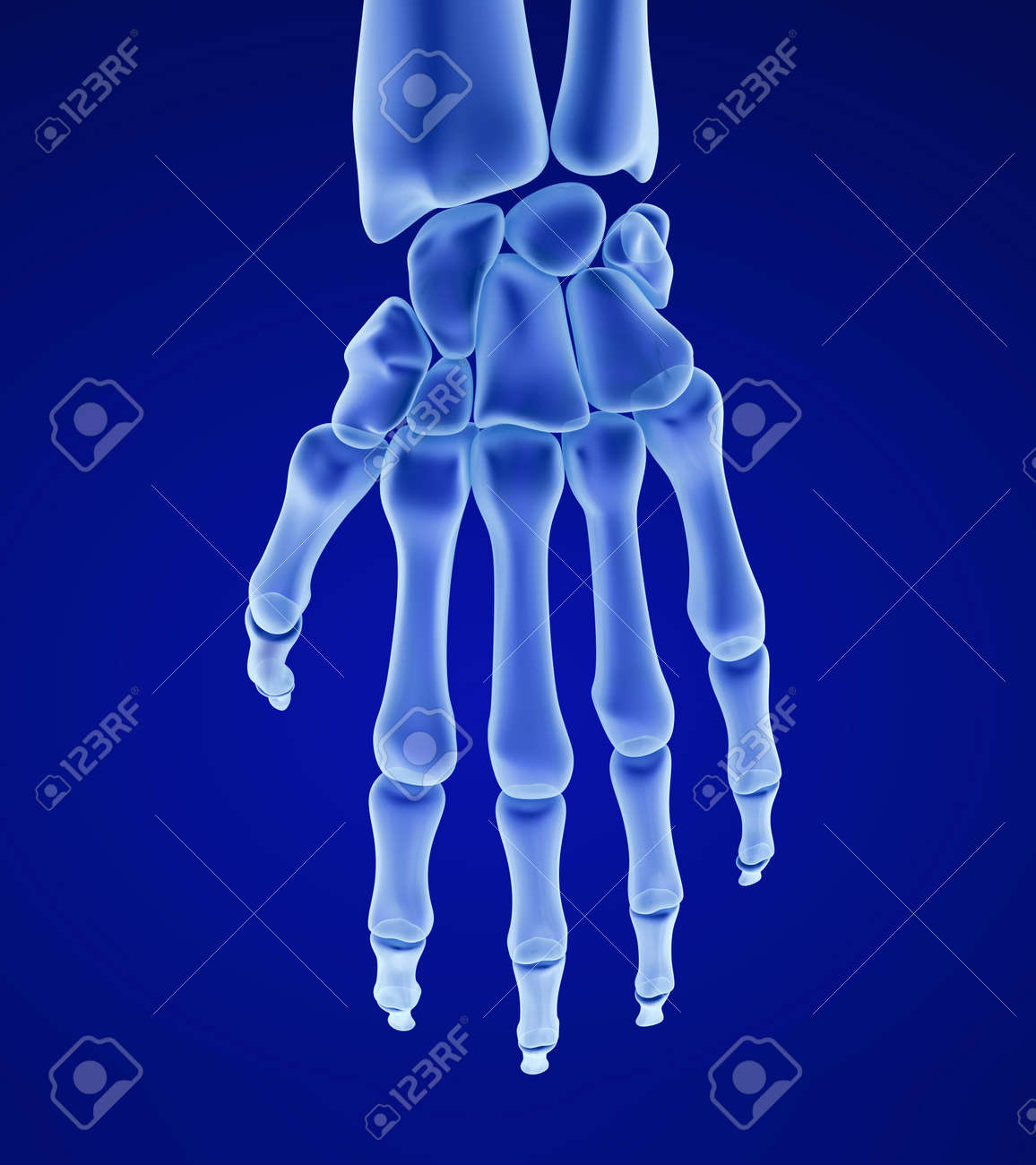 Human Wrist Anatomy. Xray View. Medically Accurate 3D Illustration ...