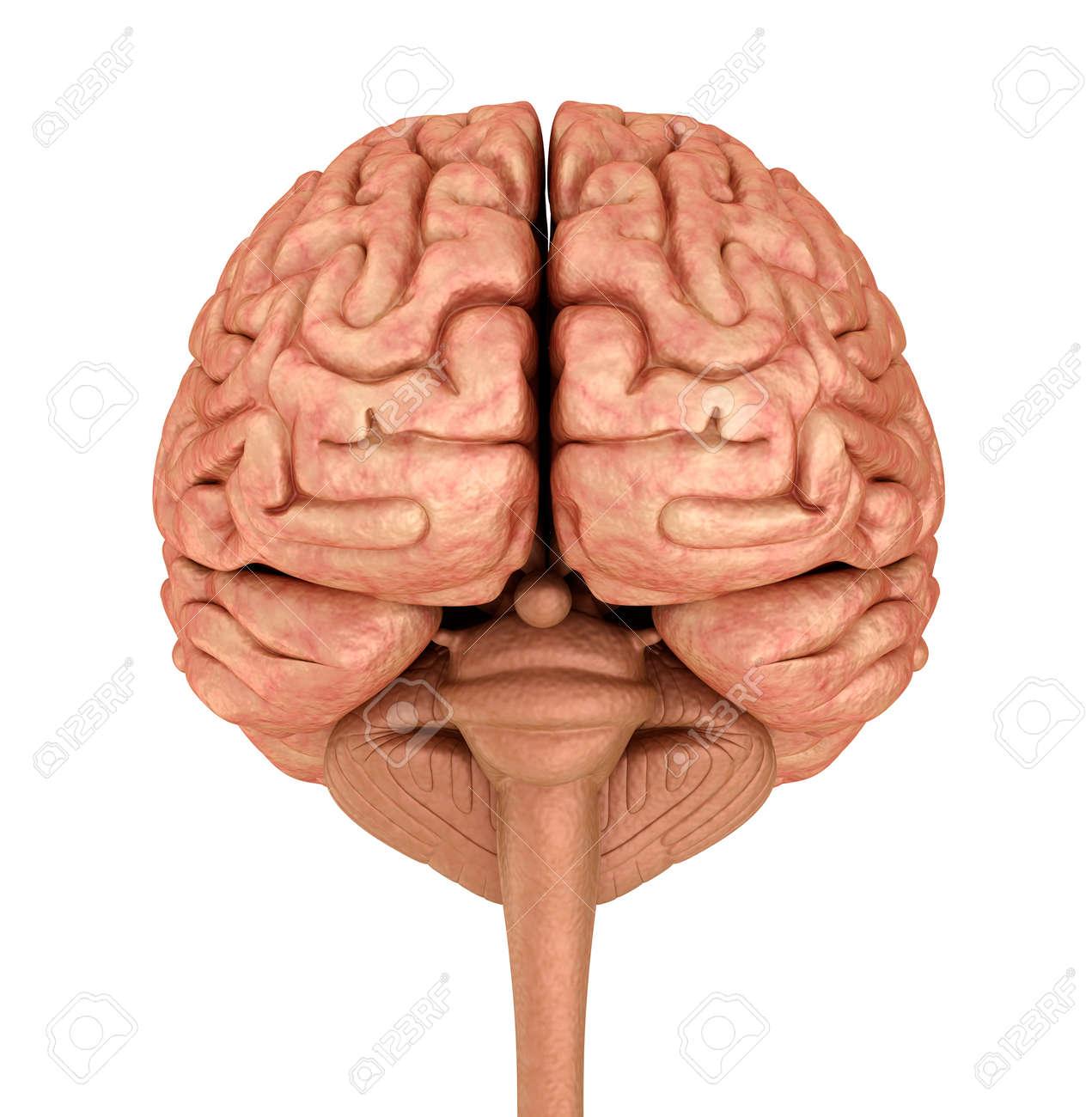 Menschliches Gehirn 3D-Modell, Isoliert Auf Weiß. Medizinisch Genaue ...