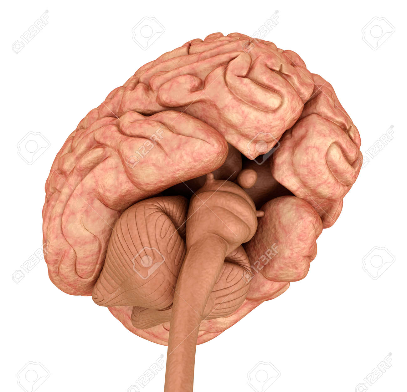 Human Brain 3D Model, Isolated On White. Medically Accurate 3D ...