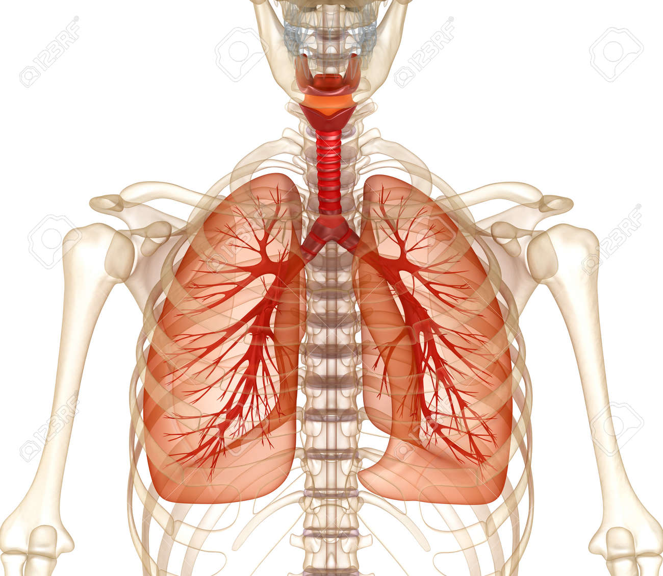 Human Lung Diagram 3d Kxhuwleidraad