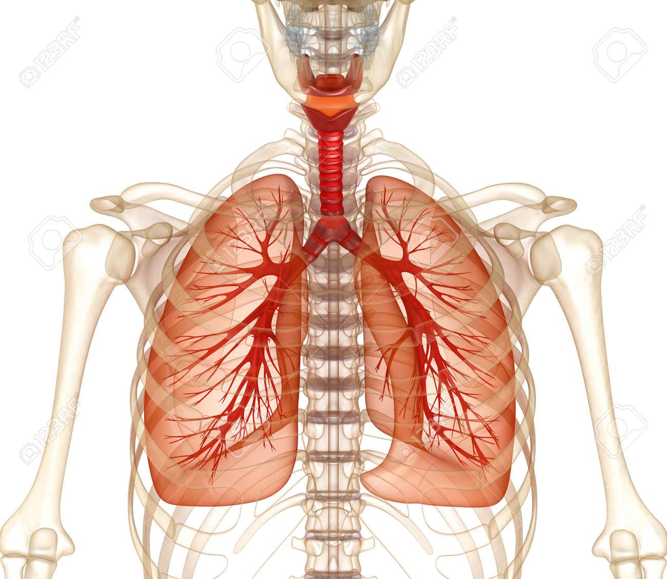 Berühmt Lunge Lage Ideen - Anatomie Und Physiologie Knochen Bilder ...