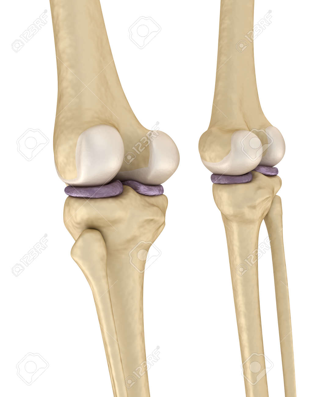 Knee Joint Anatomy Medically Accurate 3d Illustration Stock Photo