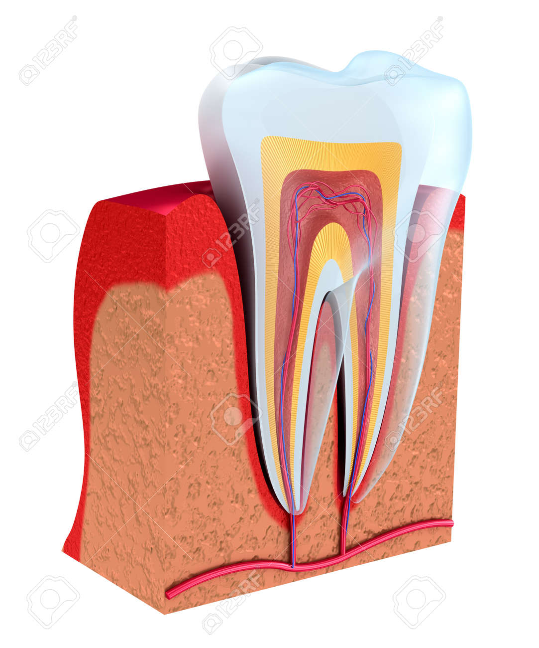 Section Of The Tooth. Pulp With Nerves And Blood Vessels. 3D.. Stock ...