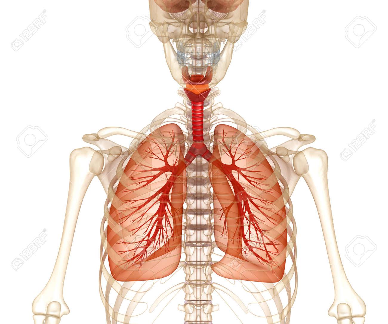 Menschliche Lunge, Luftröhre Und Skelett. Medizinisch Genaue 3D ...