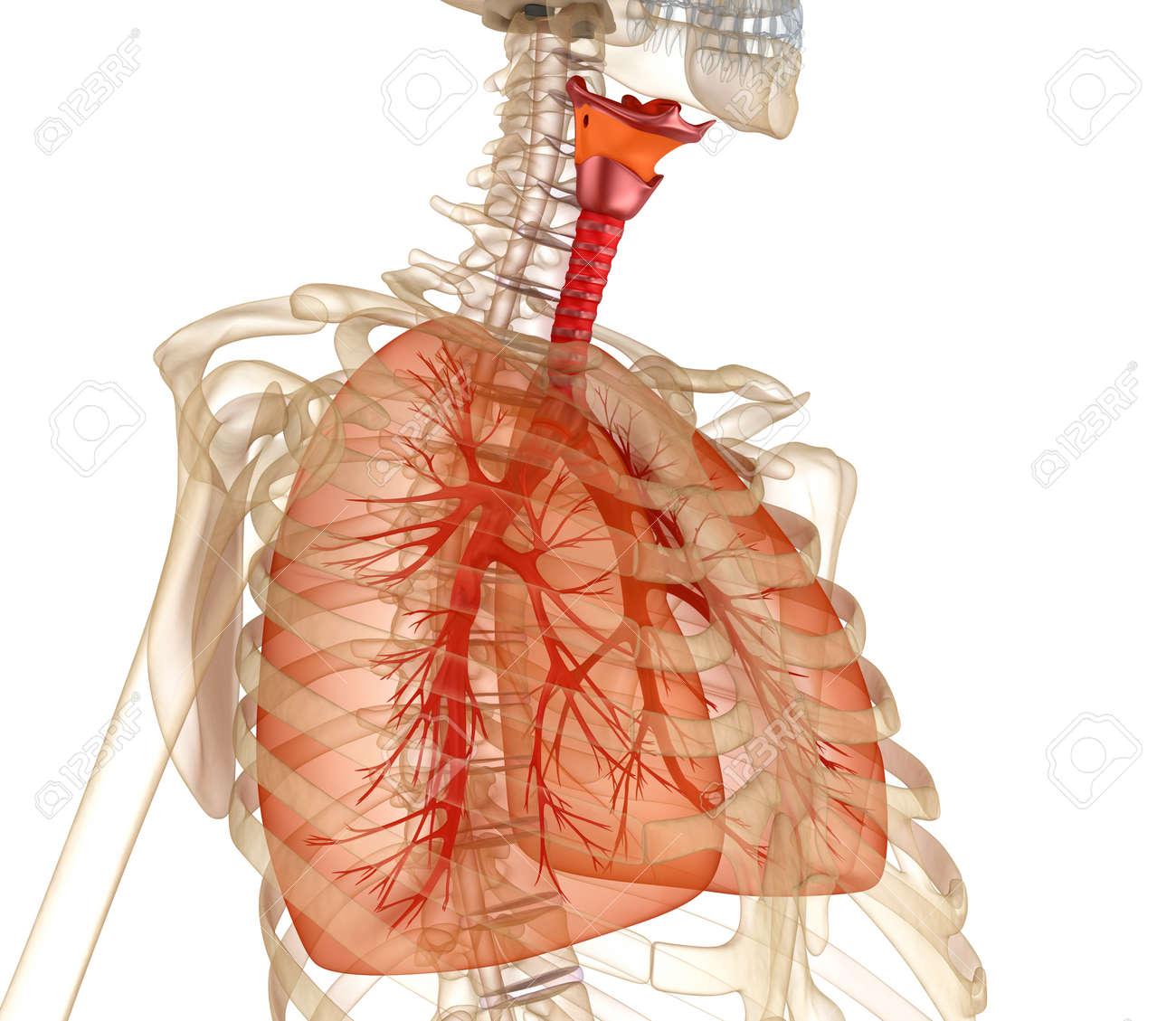Perfecto Los Pulmones Humanos Componente - Anatomía de Las ...