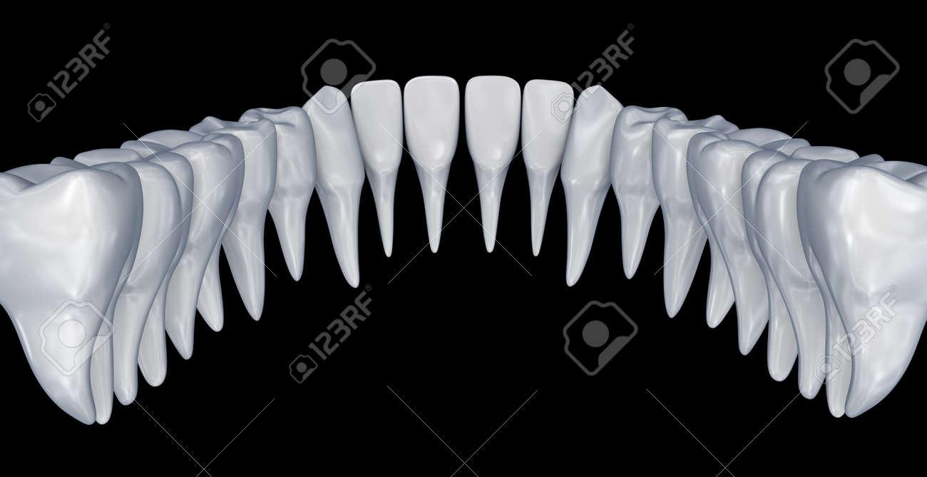 Human Teeth 3d Instalation. Medically Accurate Dentistry Anatomy ...