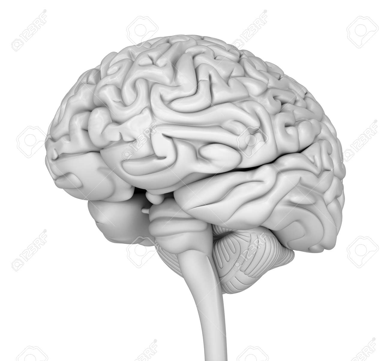 Human Brain 3D Model. Medically Accurate 3D Illustration Stock Photo ...