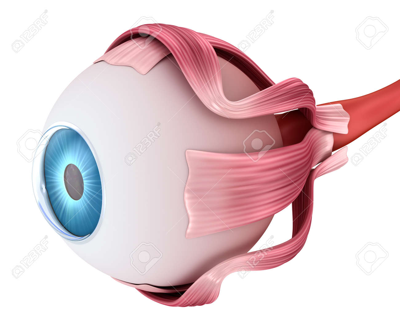 Eye Anatomy - Inner Structure, Medically Accurate 3D Illustration ...