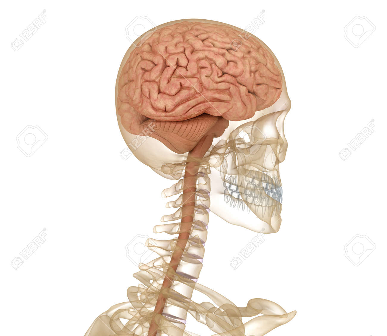Brain And Skeleton, Human Anatomy. Medically Accurate 3D ...