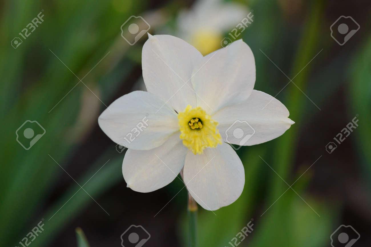 One white daffodil flower against a background of a green flower one white daffodil flower against a background of a green flower bed stock photo 93464370 mightylinksfo